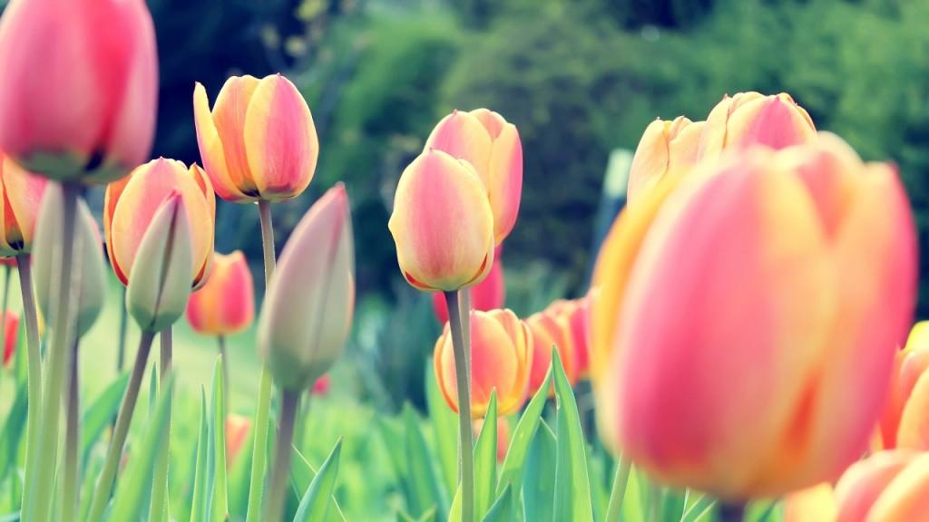 hinh nen hoa tulip 6873665