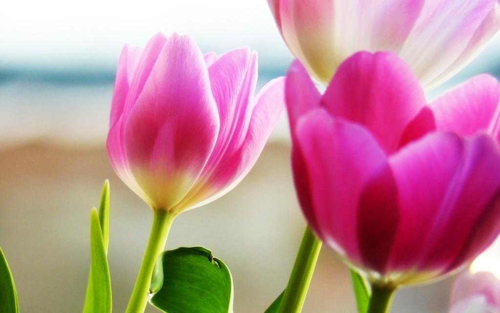 hinh nen tulip 76541323