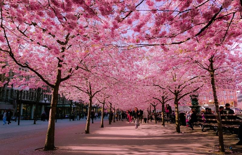 Các con đường hoa anh đào là điều thường gặp tại Nhật Bản