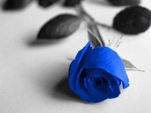 hoa hong xanh 1596