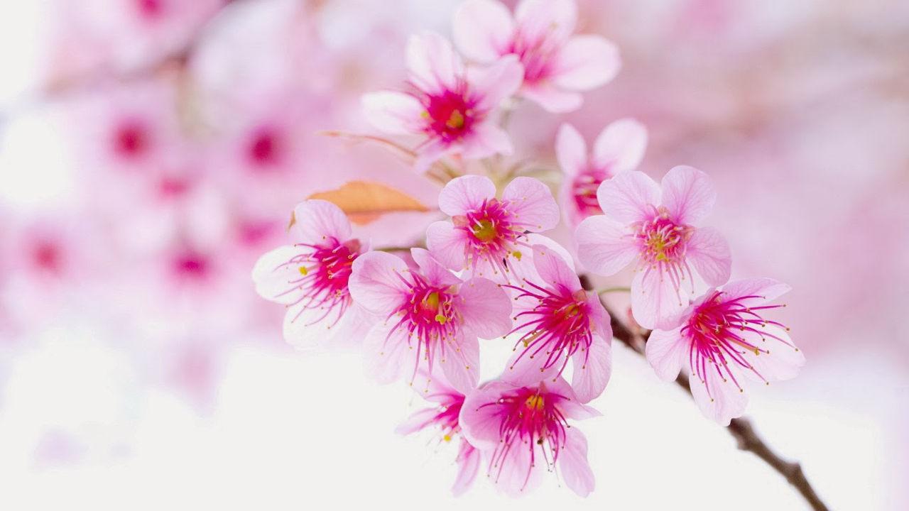 hinh nen hoa dao